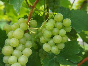 vigne-santé
