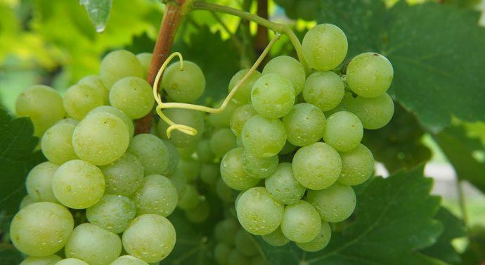 Vigne et santé, l'utilité du marc de raisin